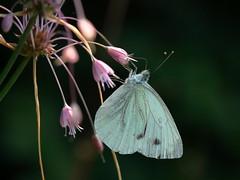 hangin' out in the pub (bkellerstrass) Tags: macro butterfly schmetterling kohlweissling rapae pieris blüte insekt insect