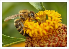 at work (https://www.norbert-kaiser-foto.de/) Tags: biene westlichehonigbiene honigbiene apismellifera europäischehonigbiene westernhoneybee bee blume pflanze tier animal natur nature macro makro makrofotografie