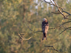Rotmilan /  Red kite (S. Markow) Tags: animal bird rotmilan tier vogel red kite outdoor nature natur panasonic lumix g9 100400mm mecklenburgvorpommern aalbude wildlife wild