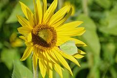 Papillon Citron (Croc'odile67) Tags: nikon d3300 sigma contemporary 18200dcoshsmc paysage landscape fleurs flowers tournesol sunflower papillon insecte nature
