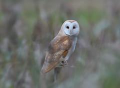 Barn Owl (KHR Images) Tags: barnowl barn owl wild bird birdofprey dusk perched reedbed thegreatfen cambridgeshire fens wildlife nature nikon d500 kevinrobson khrimages