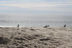 GullsChilling (PurpleZedCreations) Tags: beach grasses seagulls sand flags ice shell shells water fountain waterfountain feather bird birds grass landscape waves sky blue
