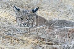 Western Bobcat (Lynx rufus fasciatus) DSC_0073 (fotosynthesys) Tags: westernbobcat lynxrufusfasciatus lynxrufuscalifornicus bobcat lynx cat felidae mammal california unitedstates