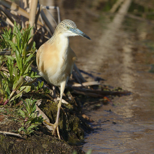 "Squacco Heron, Ardeola ralloides at Marievale Nature Reserve, Gauteng, South Africa. • <a style=""font-size:0.8em;"" href=""http://www.flickr.com/photos/93242958@N00/44482197384/"" target=""_blank"">View on Flickr</a>"