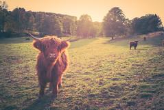 Scottish highland cattles (Eckehard Straßweg) Tags: leicam9 nature natur outdoor animals kühe tiere bauer landscape cows landschaftsfotografie scottishhighlandcattles farmer wiesen landscapephotography backlight europe europa