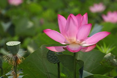 lotus (沐均青) Tags: taiwan taoyuan lotus landscape scenery travel flower nature plants colorful blue green morning clouds sky summer red pink white