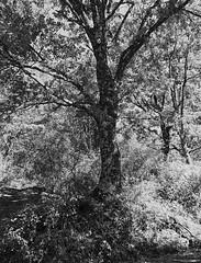 Roble. (papel) (fcuencadiaz) Tags: analogica fotografiaargentica film fotografiaquimica objetivosfijos objetivosmanuales plustek pelicula arboles brónica formatomedio 6x45 ilfordpanfplus