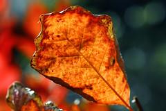 Autumn colors (erichudson78) Tags: smileonsaturday seasonsflora canonef100mmf28lmacroisusm macro cotinusgrace automne autumn fall leaf feuille bokeh texture foliage 2dwf newbeginning