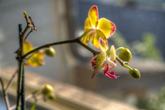DMT_20170926071118 (Felicia Foto) Tags: orchid flower allrightsreserved denisetschida yellow magenta gray middletennessee tennessee williamsoncountytennessee nikon nikond600 d600 houseplant window sunlight naturalsunlight morning morningsun red green hdr 3xp geotagged photoshopcc blooming photoshopcc2019 macro plant thompsonsstationtennessee