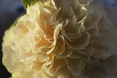 Dreamy (GaryJohn) Tags: flower hollyhock pastelcolours pastel sunshine lightandshade pentax pentaxk5 pentaxlimitedlens smcpentaxda35mmmacrolimited garden