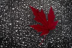 ''Bourrasques!'' (pascaleforest) Tags: passion nikon nature automne pluie rain vent feuille leaf eau water porte door