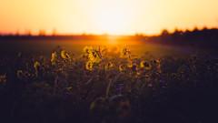Last light (der_peste (on/off)) Tags: dof sunflower sunflowers sunset sundown sunlight bokeh depthoffield sigma 135mm art mood backlight