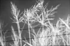 F_DSC4505-BW-2-Nikon D90-Nikkor 16-85mm-May Lee 廖藹淳 (May-margy) Tags: maymargy bw 黑白 紅外線攝影 irphotography bird 鳥 羽翼 featherandwings 電線 白頭翁 模糊 散景 幾何構圖 點鳥 humaningeometry humanelement 台北市 台灣 中華民國 taiwan repofchina pulsatilla powerlines weeds 野草 streetviewphotography 街拍 天馬行空鏡頭的異想世界 mylensandmyimagination taipeicity nikond90 maylee廖藹淳 nikkor1685mm fdsc4505bw2
