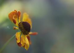 i said hi (rockinmonique) Tags: stalbertbotanicgarden flower bloom blossom petal bokeh macro yellow orange blue green light moniquewphotography canon canont6s tamron tamron45mm copyright2018moniquewphotography
