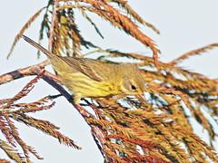 Prairie Warbler female 02-20181018 (Kenneth Cole Schneider) Tags: florida miramar westmiramarwca