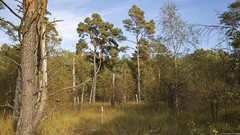 Kiefern im Wald (outbreak998) Tags: hamburg deutschland de canon eos r 2470mm f28 169 4k 3840x2160 adobergb wald
