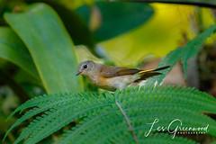 McKee-5 (Les Greenwood Photography) Tags: bird american mckee natre nature tree florida vero beach