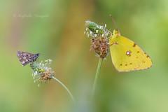 Uno per uno.... (Raffaella Coreggioli ( fioregiallo)) Tags: macro farfalle natura nikon insetti fotografia fiori