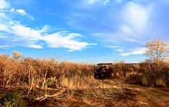 Among the Brush (Unoriginally Unique) Tags: africa southafrica madikwe safari orange blue jeep sky grass clouds