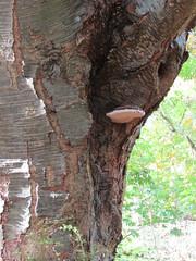 Bracket Fungus (wallygrom) Tags: england westsussex haywardsheath handcross nymans nymansgarden nt nationaltrust