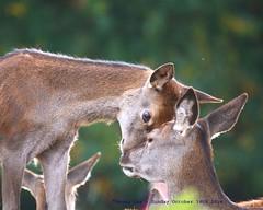 Love Me Tender........ (law_keven) Tags: reddeer richmondpark richmond uk england photography wildlifephotography deer animals animalphotography