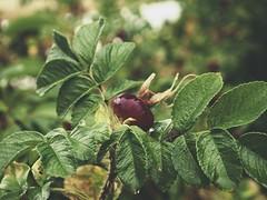 2018:07:28 18:31:15 - Garden Fruit Bokeh - Tarbek - Schleswig-Holstein - Germany (torstenbehrens) Tags: garden fruit bokeh tarbek schleswigholstein germany olympus epm1