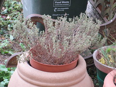 Saturday, 22nd, In need of a little TLC IMG_6428 (tomylees) Tags: essex morning autumn september 2018 22nd saturday thyme