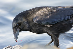 Carrion Crow finds a tasty morsel. (Fizzog2) Tags: water food corvidae corvid bird carrioncrow crow corvuscorone