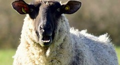 How very dare ewe! (Shamanski73) Tags: ewe sheep shocked teeth farm animal woolly