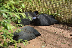 Chester Zoo (386) (rs1979) Tags: easterncrestedguineafowl chesterzoo zoo chester tsavobirdsafari guineafowl