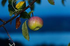 Apfelernte am Bodensee (schnuffelkind1) Tags: überlingen badenwürttemberg deutschland bodensee apfel obst baum natur canon