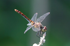 Dragonfly (Anisoptera) (Nemanja Zotovic PHOTOGRAPHY) Tags: anisoptera odonata isolated background green nature wildlife portrait insecta closeup transparentwings colorful flying
