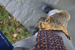 112/365/3764 (October 1, 2018) - Squirrels in Ann Arbor at the University of Michigan - October 1st, 2018 (cseeman) Tags: gobluesquirrels squirrels annarbor michigan animal campus universityofmichigan umsquirrels10012018 fall autumn eating peanut acorns octoberumsquirrel 2018project365coreys yearelevenproject365coreys project365 p365cs102018 356project2018 foxsquirrels easternfoxsquirrels michiganfoxsquirrels universityofmichiganfoxsquirrels