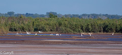 Gathering of herons (garybaird) Tags: saltplanesnationalwildliferefuge oklahoma arkansasriver greategret heron greatblueheron