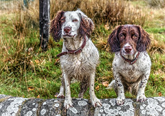 My Boys (Explored) (Missy Jussy) Tags: rupert rupertbear razzle roxbergrazzle englishspringer springerspaniel spaniel mansbestfriend malespringerspaniel outdoor outside countryside rural piethornevalley wall grass fence autumn canon5dmarkll canon5d canoneos5dmarkii 50mm ef50mmf18ll ef50mm canon50mm fantastic50mm canon myboys dogwalk dogportrait dogs pets animals littledoglaughedstories