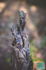 Week 40: Photo Walk (bmurphy502) Tags: spider spiders outside photowalk nature natur naturephotography 2018p52 woods tree daddylonglegs dof summer outdoors natural