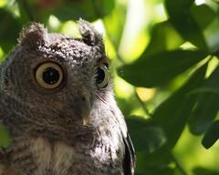 Owlie McOwlface Profile (joiseyshowaa) Tags: florida fl fla nature tree natural wildlife eyes bird ears beak brown pinellas clearwater st petersburg tampa screech