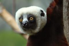 Sifaka Lemur (jopaz53) Tags: 300f4isl zoo lemur