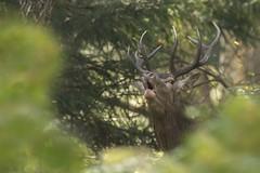Deer (pokretloodradia) Tags: deer sex