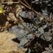 rock primrose, Chylismia walkeri subsp. tortilis