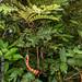 2012-07-25 TEC-1803 cf. Cojoba graciliflora - E.P. Mallory