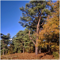 2018-11-13: Reigate Heath Barrows - Most of the heathland barrows in southern England are dated at 1500 – 1200 BC (Middle Bronze Age). They usually contain cremation burials and modest grave goods in comparison with the Early Bronze Age barrows. (pg tips2) Tags: heath reigateheath surrey sssi reigate rh2 barrow burialground ancient ancientburials bronzeage buckland bucklandshag
