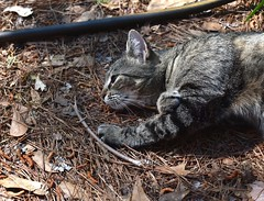 Camille with twig (rootcrop54) Tags: camille female mackerel tabby twig stick hose profile neko macska kedi 猫 kočka kissa γάτα köttur kucing gatto 고양이 kaķis katė katt katze katzen kot кошка mačka gatos maček kitteh chat ネコ