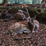 A deer laying in the fallen leaves thumbnail