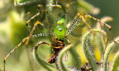 Venom (dianne_stankiewicz) Tags: nature wildlife spider greenlynx venom macro green glow