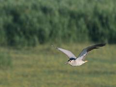 Nitticora (nycticorax nycticorax) (Paolo Bertini) Tags: nitticora nycticorax night heron valle mandriole delta po birding birdwatching flight uccello volo