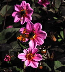 pollination (Johnson Cameraface) Tags: 2018 september autumn olympus omde1 em1 micro43 mzuiko 60mm macro f28 johnsoncameraface peakdistrict derbyshire chatsworthhouse commabutterfly bee hoverfly