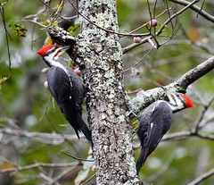 We're a couple (picturesinmylife_yls) Tags: pileated woodpecker nature good day bird