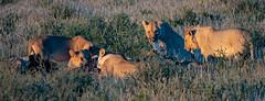 Early morning breakfast (leonoos) Tags: breakfast lions early morning eating