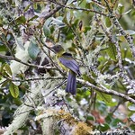 gray-winged cotinga thumbnail